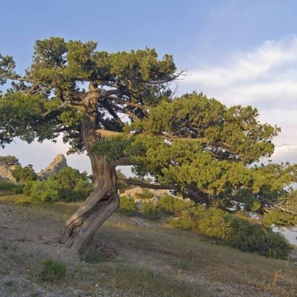 wacholderbaum